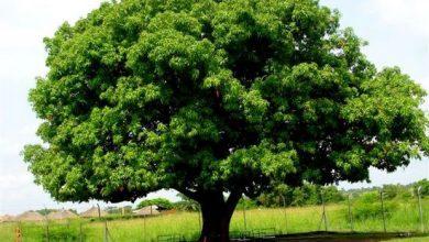 Photo of شجرة الجنّة