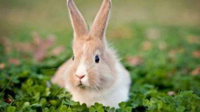 Photo of 'إيبولا الأرنب' .. فيروس أرانب مميت ينتشر بسرعة في الولايات المتحدة!
