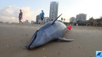 صورة الأمواج تقذف جثة دولفين طولها متر ونصف إلى شواطئ بات يام